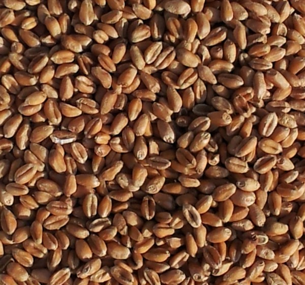Füllstoff Weizen (korn)